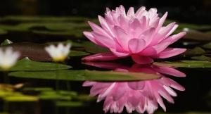 Flor de Lotus | Fleur de Lotus