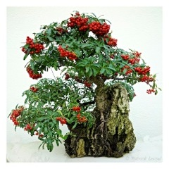 Bonsai fleuri
